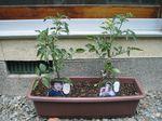 2006-05-22 tomato.jpg